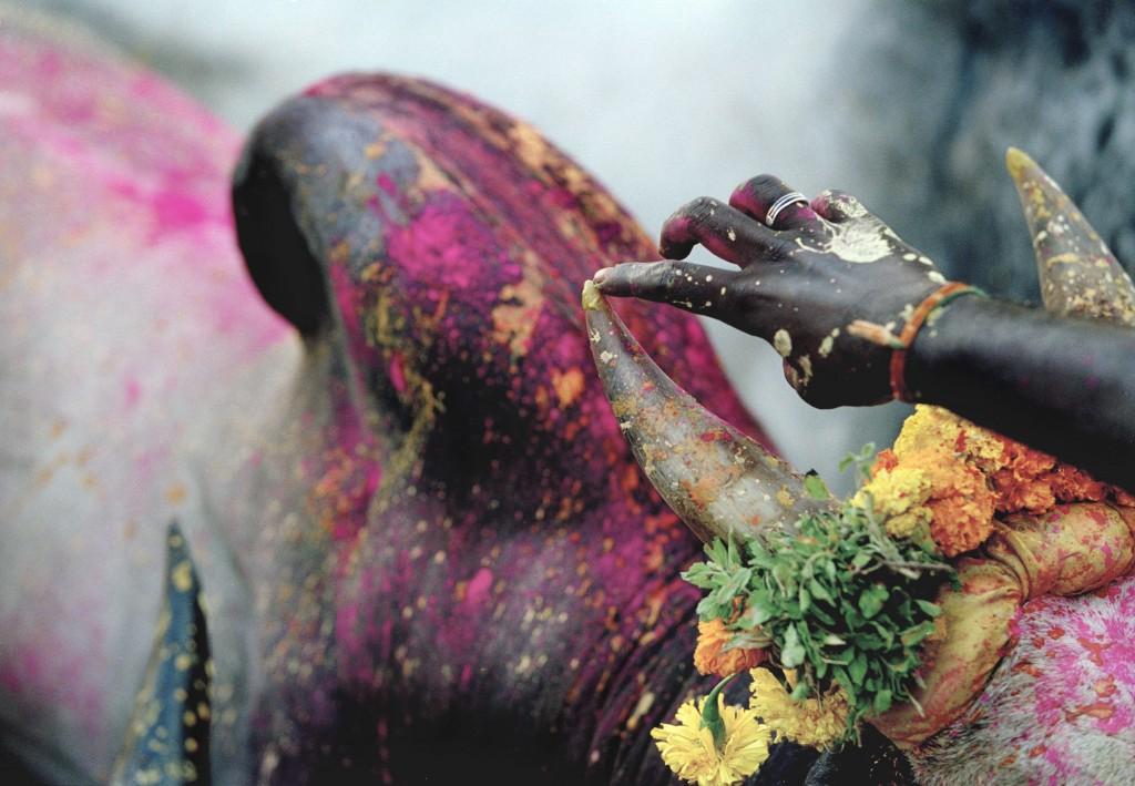 Pongal bull run, India